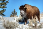 Bison in the snow and sunshine