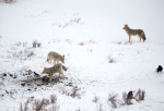 Three coyotes at the bison carcass