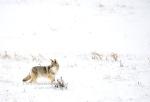 coyotesnow001
