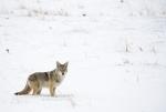 coyotesnow003