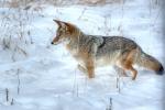 coyotesnow005