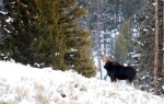 Cow Moose in the snow