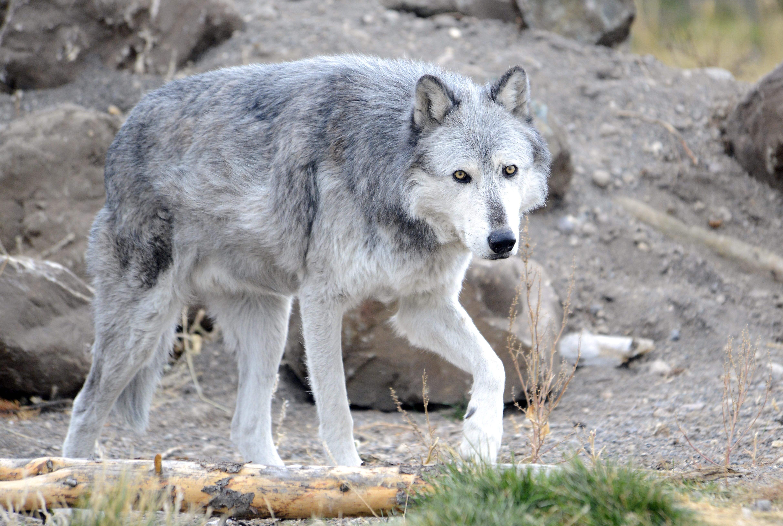 Yellowstone Wolves 2012