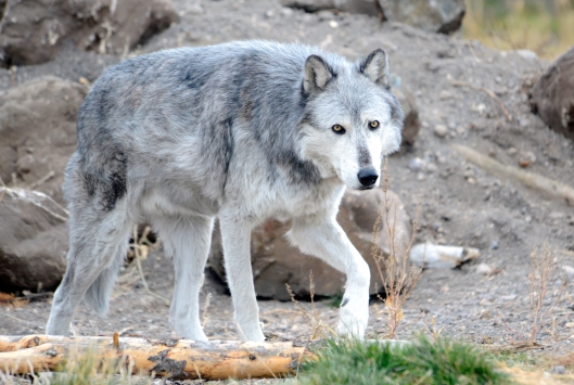 This wolf is not any of the wolves written about in this story - it was captive at the Wolf and Discovery Center in West Yellowstone.