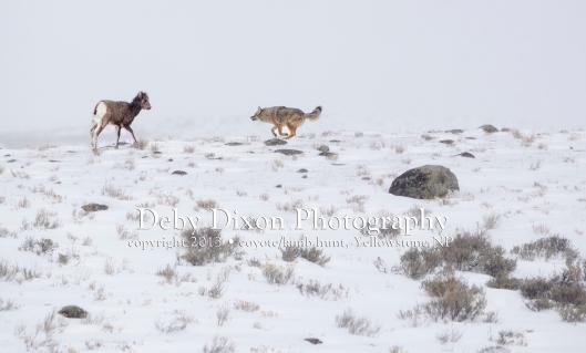 Lamb facing coyote