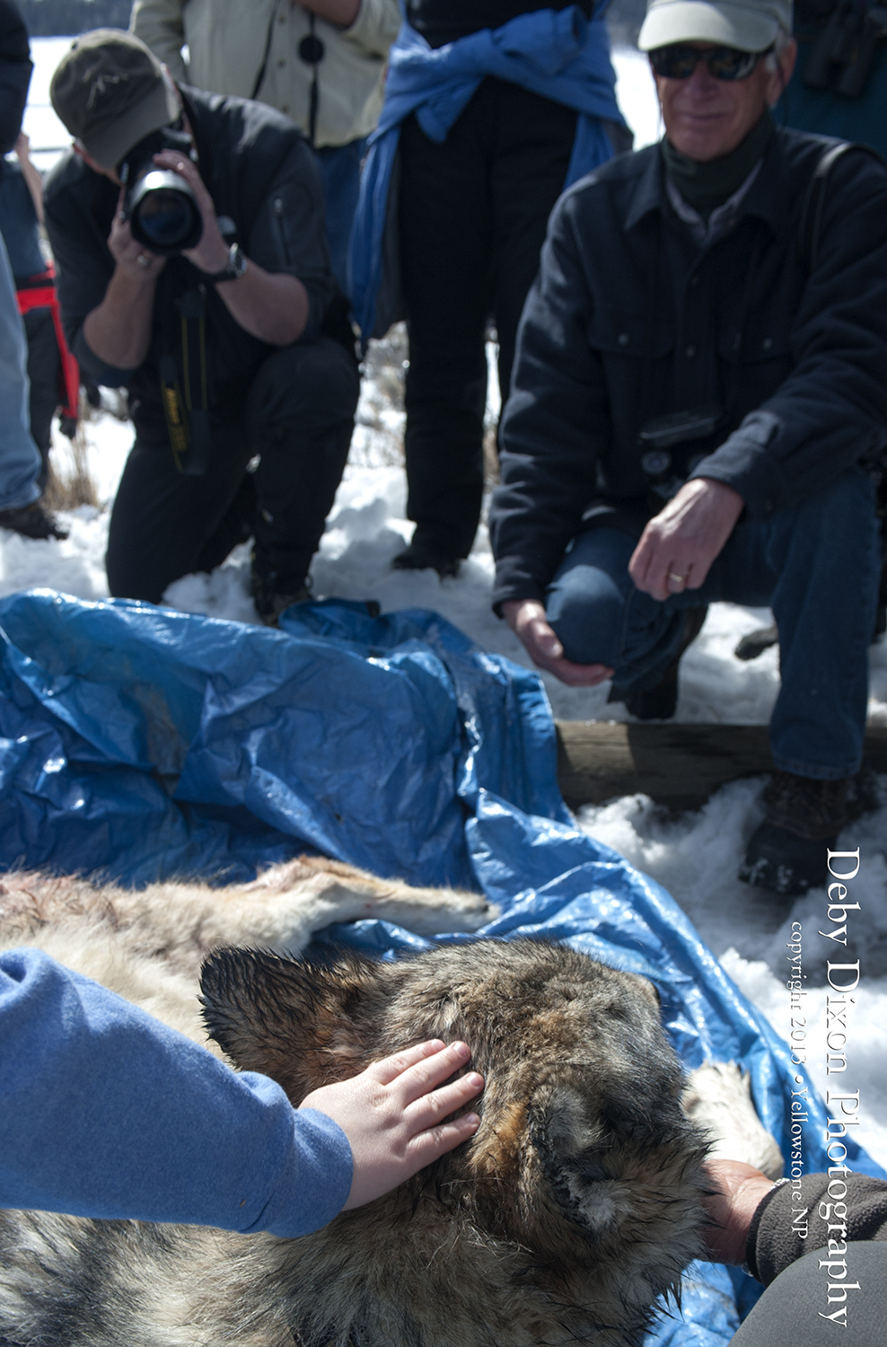 The Yellowstone Wolf Project skied or snowshoed across the valley to retrieve the body of 759 and afterwards Doug Smith allowed everyone to see and pet her and to ask him questions.