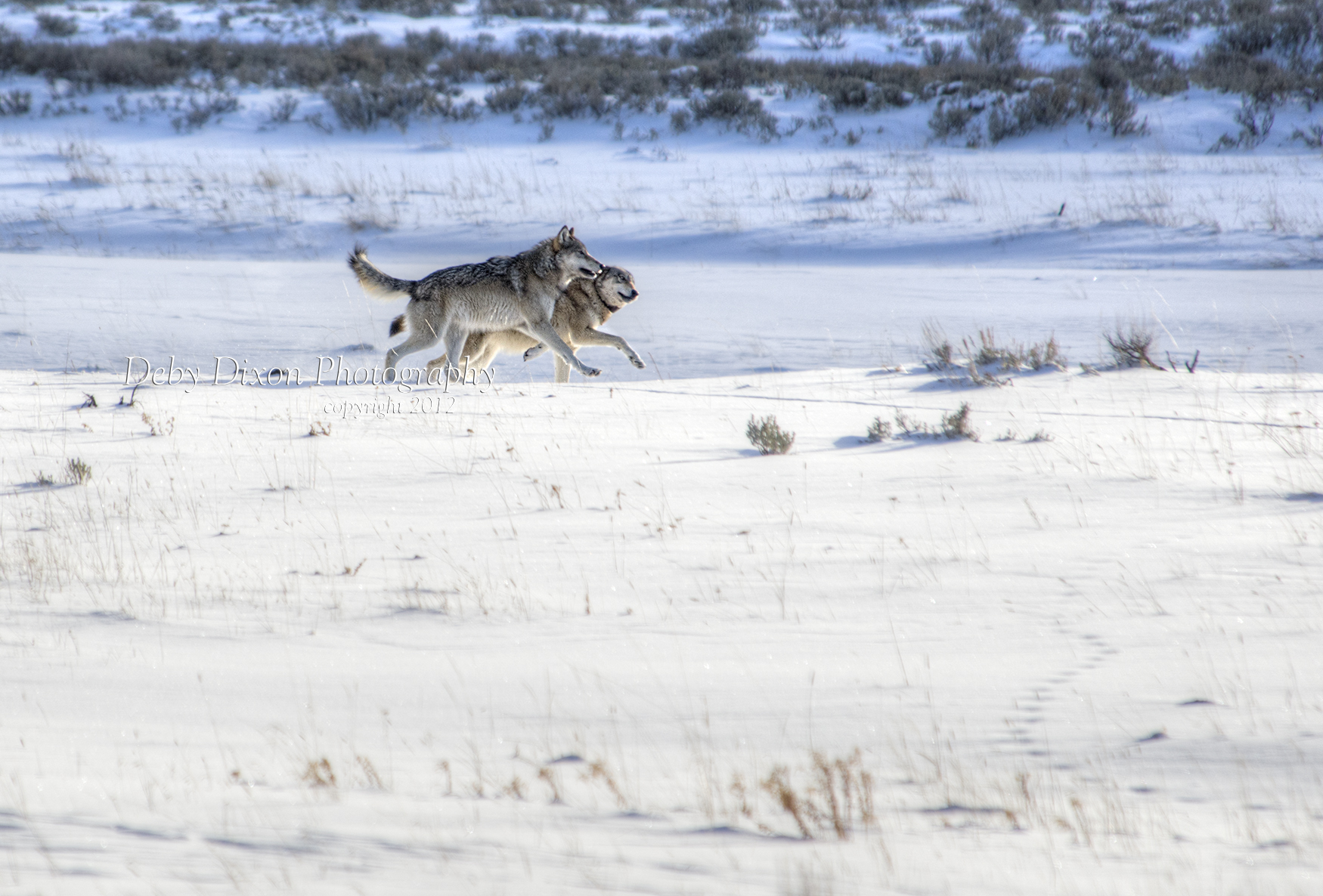 776 and 820 run along the Lamar River last December when they returned to the park with their dad for a short time.