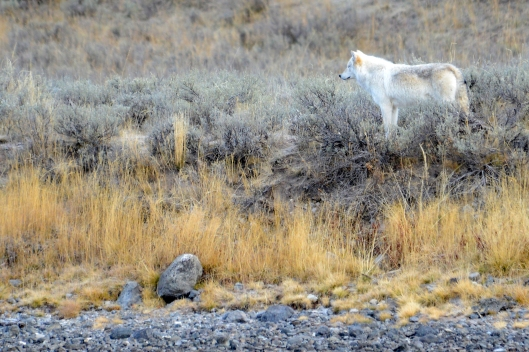 Yellowstone White Wolf