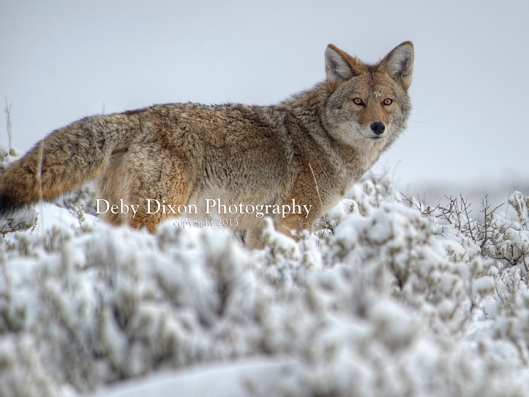 coyoteblacktail003