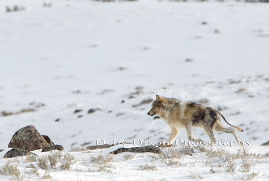 Several members of the Canyon Pack, from the interior of Yellowstone, have mange.  This pup has one of the most severe cases in the pack.