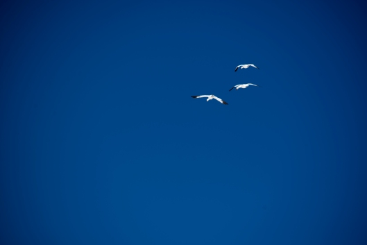 Snow Geese fly over Lamar Valley in March